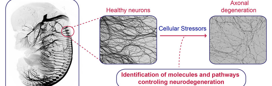 Molecular mechanisms of neuronal survival and degeneration illustration.