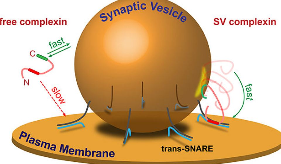 synaptic vesicle diagram